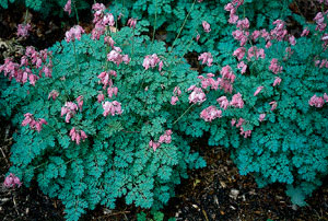 'King of Hearts' Bleeding Heart